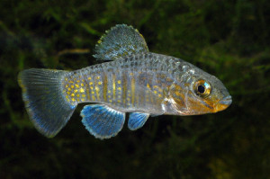 Lake Eustis pupfish