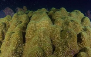 mountainous star coral
