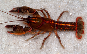 panama city crayfish