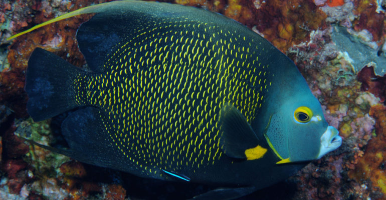 A French angelfish amongst coral.